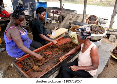 Cape Coast, Ghana - March 10th 2013: African women selecting palm oil fruits for further processing at the palm oil factory