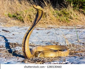Cape Cobra (Naja nivea).