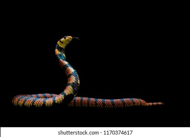 Cape Coral Cobra is dangerous red and black-band snake from Namibia on dark background. Beautiful strike acting venom snake spreading hood for prepares to fight and flicks its tongue find suspicious.