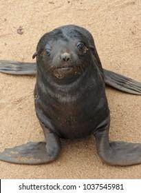Cape Cross Seal Baby