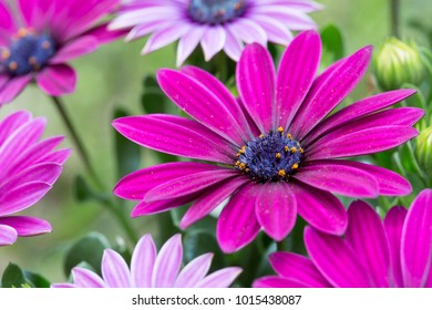 Cape daisy flower power