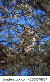 Cape eagle owl, Bubo capensis, hidden between the branches of a kalahari desert camel thorn tree