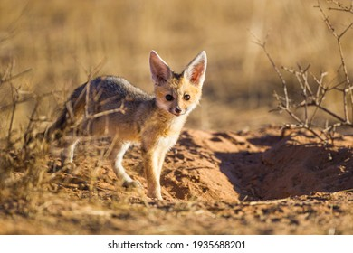 Cape Fox cub comes up from the borrow to play in the sun