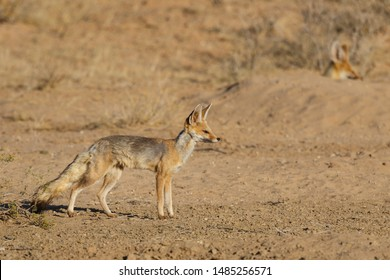 Cape Fox  in the Kgalagadi Transfrontier Park in the Kalahari Desert in South Africa