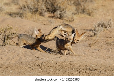 Cape Fox playing in the Kgalagadi Transfrontier Park in the Kalahari Desert in South Africa