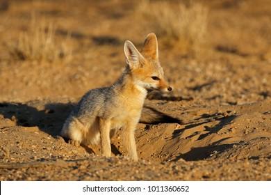 Cape fox (Vulpes chama) in natural habitat, Kalahari desert, South Africa