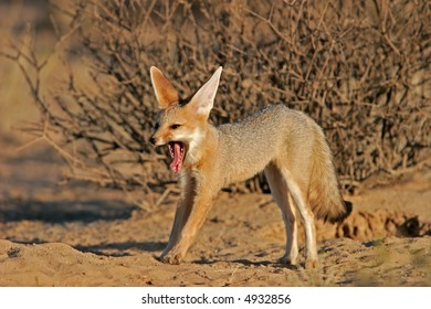 Cape fox (Vulpes chama) yawning and stretching, Kalahari, South Africa