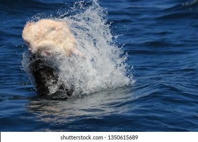 Cape fur seal, Arctocephalus pusillus pusillus, catching and killing an elctric ray, Torpedo sp., Cape Infanta, South Africa, Indian Ocean