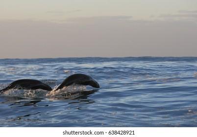 Cape fur seal, Arctocephalus pusillus pusillus, False Bay, South Africa, Atlantic Ocean