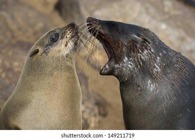 Cape fur seal bad breath, Skeleton Coast, Namibia
