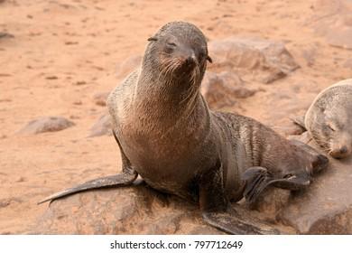 Cape fur seal enjoying basking on the beach