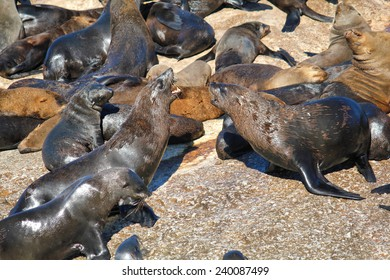 A lot of Cape Fur Seal at Seal island, Hout bay harbor, Cape Town, South Africa