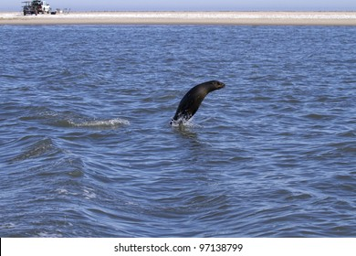 A Cape Fur Seal leaps out of the water near a large Seal Colony in Walvis Bay, Namibia