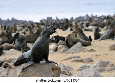 Cape fur seal on the stone coast of Atlantic ocean. Seal colony on the Cape Cross, Skeleton Coast, Namibia