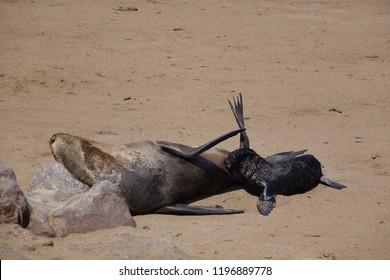 Cape fur seal pup suckling Skeleton Coast Namibia Africa