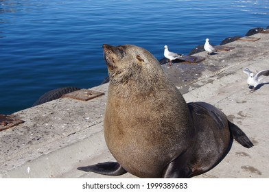 Cape Fur Seal sitting on Hout Bay harbour wall, with seagulls behind it and blue sea in the background.