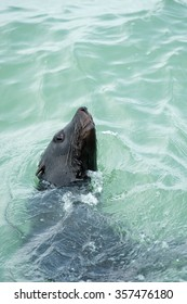 Cape Fur seal swimming in the ocean with just the head out of the water