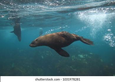 Cape fur seals, Arctocephalus pusillus pusillus, Duiker Island, Hout Bay, South Africa, Atlantic Ocean
