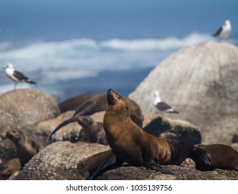 Cape Fur Seals on a rocky outcrop near Cape Town, South Africa