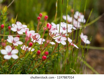 Cape fynbos Coleonema pulchellum flowers pink close up of small light pink flowers with rounded petals.