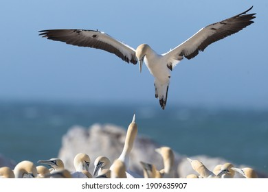 Cape gannet in flight looking for a place to land in the colony