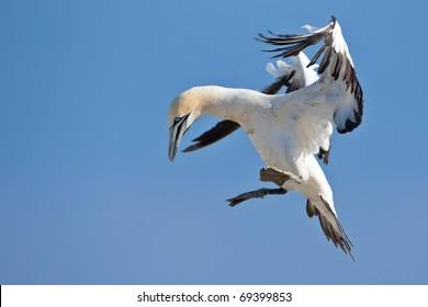 Cape Gannet, South Africa