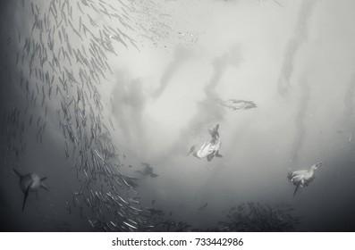 Cape gannets feeding on a sardine bait ball during the annual sardine run, east coast South Africa.