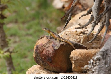 Cape girdled lizard, Cordylus cordylus, Cape Infanta, South Africa