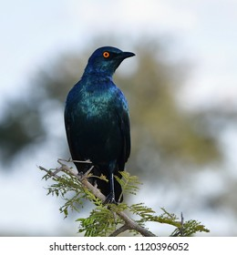 Cape Glossy Starling in Kruger National park in South Africa