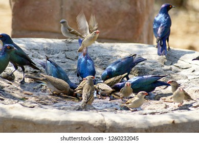 Cape glossy starling (Lamprotornis nitens) and Red-billed quelea (Quelea quelea) in a birdbath at a lodge in Botswana