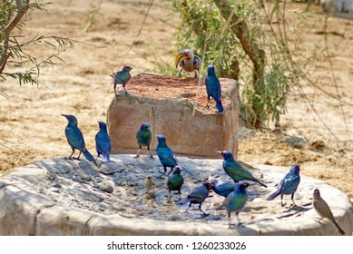 Cape glossy starling (Lamprotornis nitens) flock in a birdbath at a lodge in Botswana