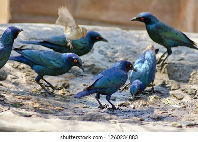 Cape glossy starlings (Lamprotornis nitens) in a birdbath at a lodge in Botswana
