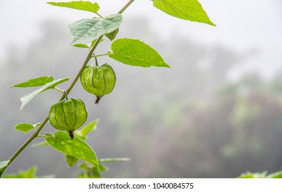 Cape Gooseberry (Physalis Peruviana or Physalis angulata) little twig on the plant in garden with nature background.