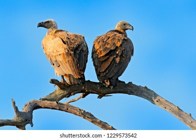 Cape griffon vulture, Gyps coprotheres, two birds of prey sitting on the tree branch with blue sky. Wildlife scene from nature, Okavango delta, Moremi, Botswana in Africa. Vulture in the nature habita