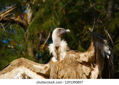 The Cape Griffon or Cape Vulture (Gyps coprotheres). large vulture sits on a branch and dries feathers