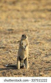 Cape Ground Squirrel - African Wildlife Background - Natural Moments of Humor