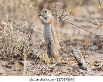 Cape ground squirrel (xerus inauris) in the Kalahari