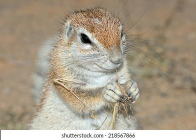 Cape Ground Squirrel (Xerus Inauris). Photo taken at Mata Mata in the Kgalagadi Transfrontier Park, South Africa