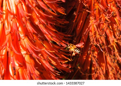 A Cape Honey Bee collects honey from a Cape Aloe in the evening sunlight at Suikerbossie, Hout Bay, Cape Town, South Africa against the bright orange of the sugary nectar juice laden aloe pods