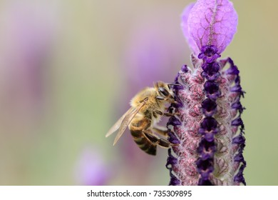 Cape honey bee drinking from lavender flower