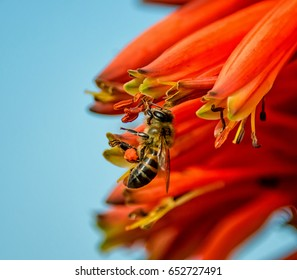 A Cape Honey Bee on a red Aloe plant in Southern Africa