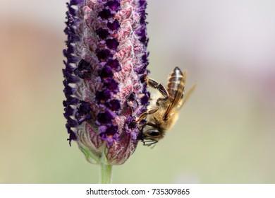 Cape honey been on lavender flower