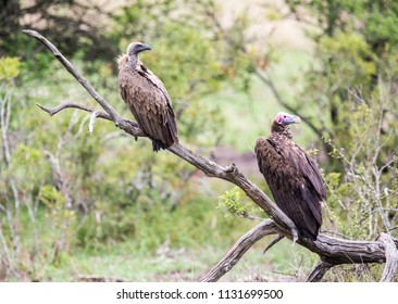 A Cape and Lappet-faced vultures sitting on a dead tree branch in the bush.