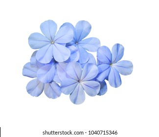 cape leadwort, white plumbago, Plumbago auriculata, Blue flower isolated on white background.