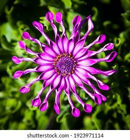 Cape Marguerite, Osteospermum ecklonis. Exotic purple flower on a vivid green background. New South Wales, Australia.