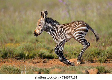 Cape mountain zebra (Equus zebra) foal running, Mountain Zebra National Park, South Africa