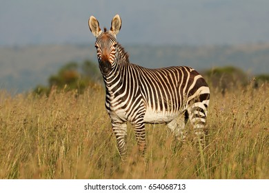 Cape mountain zebra (Equus zebra) in grassland, Mountain Zebra National Park, South Africa