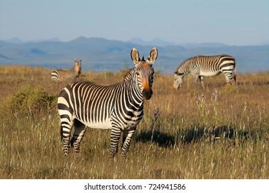 Cape mountain zebras (Equus zebra) in grassland, Mountain Zebra National Park, South Africa
