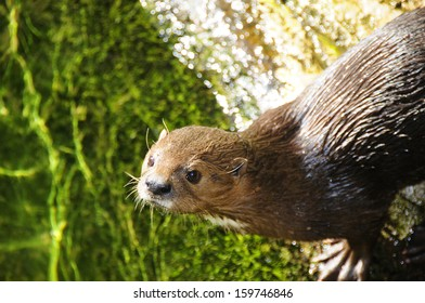 Cape Otter in South Africa