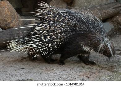 Cape porcupine, Lewa Wildlife Conservancy, Kenya